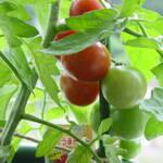 プランターでミニトマト栽培をする。