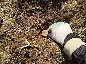 自然栽培でジャガイモの種芋を植える。