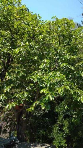 田舎の自然のなかにある柿の木でつくる:柿の葉茶の作り方