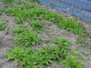 6月3日に根を掘る:たんぽぽコーヒーの作り方