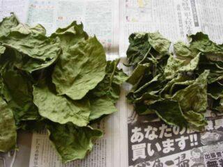 陰干しにする:柿の葉茶の作り方