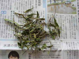 葉脈(主脈)を取り除く:柿の葉茶の作り方