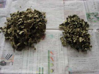 乾燥したらできあがり:柿の葉茶の作り方
